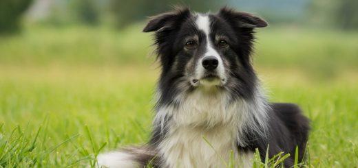 Inteligentní psí plemena