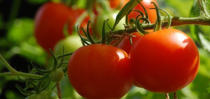 Jak pěstovat rajčata? Neotálejte s výsevem